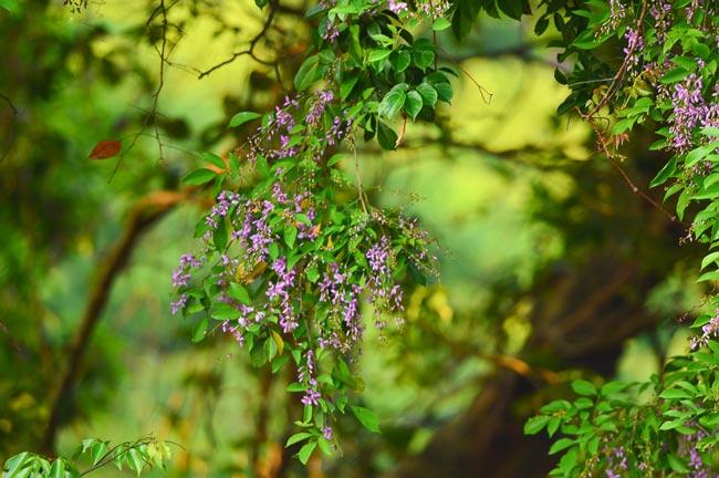 Ngất ngây sắc tím hoa thàn mát ở Sơn Trà